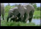 Elephant mating, fighting & pregnancy - Animals: The Inside Story - BBC | Recurso educativo 728585
